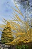 Vibrierende gelbe Forsythie gestaltet gegen hellen Frühlingshimmel Stockfotografie