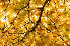 Vibrierende gelbe hintergrundbeleuchtete Blätter auf einem Baum im Herbst Stockfotos