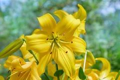 Vibrierende gelbe Lilien, die in einem Sommergarten blühen stockfotografie