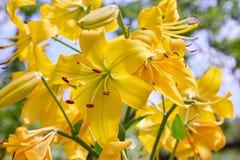 Vibrierende gelbe Lilien, die in einem Sommergarten blühen lizenzfreie stockbilder