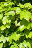 Vibrierende grüne Ahornblätter Lizenzfreies Stockfoto