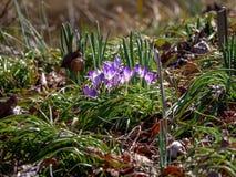 Vibrierende purpurrote Blumen auf Forest Floor stockbilder