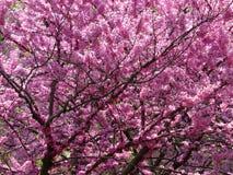Vibrierende purpurrote Blumen im Frühjahr im April stockbilder
