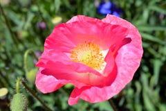 Vibrierende rosa Mohnblume auf dem Gebiet Lizenzfreie Stockfotos
