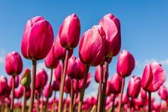 Vibrierende rosa Tulpen gegen einen blauen Himmel Lizenzfreie Stockfotografie