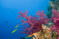 Vibrierende rosafarbene weiche Koralle auf einem tropischen Riff. stockfoto