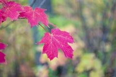 Vibrierende rosarote Ahornblätter, die im Herbstwald, Nahaufnahme hängen Lizenzfreie Stockfotos