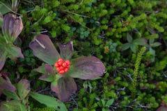 Vibrierende rote Beeren mit Grünpflanzen Stockfotografie