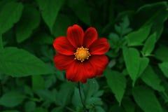 Vibrierende rote Blume lizenzfreie stockfotografie