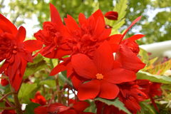 Vibrierende rote Blumen Lizenzfreie Stockfotos