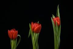 Vibrierende rote Tulpen auf schwarzem Hintergrund Stockfotografie