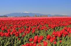 Vibrierende rote Tulpen in Skagit-Tal, WA stockfotos