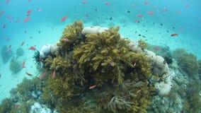 Vibrierende Rotflosser Anthias und weiche Korallen in Papua-Neu-Guinea stock video footage