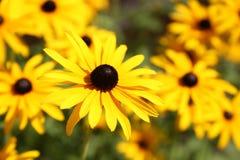 Vibrierende Rudbeckiablumen, für Hintergründe oder Beschaffenheiten lizenzfreie stockbilder