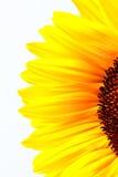 Vibrierende Sonnenblumen-Blumenblätter lizenzfreie stockfotografie
