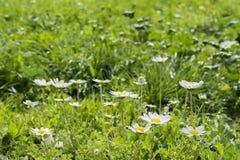 Vibrierende wilde Wiese der Sonnenscheingänseblümchen Lizenzfreies Stockfoto