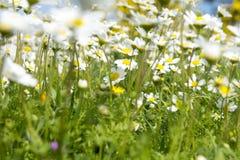 Vibrierende wilde Wiese der Sonnenscheingänseblümchen stockfotografie
