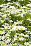 Vibrierende wilde Wiese der Sonnenscheingänseblümchen lizenzfreie stockfotos