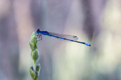 Vibrierender blauer Damselfly auf Lavendel Lizenzfreie Stockfotos