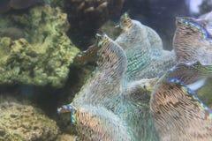 Vibrierender blauer und weißer hawaiischer Riese lizenzfreie stockbilder
