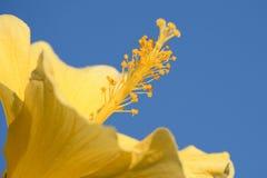 Vibrierender gelber Hibiscus mit blauer Himmel-Hintergrund stockfotografie