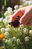 Vibrierender natürlicher Blumenhintergrund, Mann, der auf makro rotem adm pionting ist Lizenzfreies Stockfoto