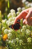 Vibrierender natürlicher Blumenhintergrund, Mann, der auf makro rotem adm pionting ist Stockbild
