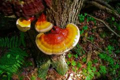 Vibrierender Reishi-Pilz im Wald Lizenzfreies Stockbild
