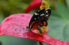 Vibrierender Schmetterling lizenzfreie stockfotos