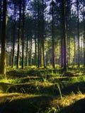 Vibrierender Sommer-Kieferwald Stockfotos