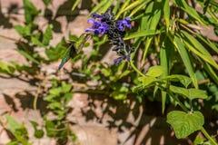 Vibrierender und bunter Homming-Vogel, der Nektar isst lizenzfreies stockbild