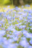 Vibrierender Vergissmeinnicht Frühling blüht mit flacher Schärfentiefe Lizenzfreies Stockfoto