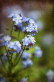 Vibrierender Vergissmeinnicht Frühling blüht mit strukturiertem und Vignette Stockbild