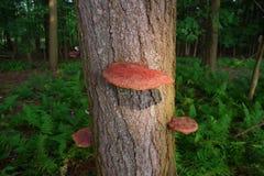 Vibrierender wilder Reishi-Pilz Ganoderma Tsugae, das auf einem Schierlings-Baum wächst stockbilder