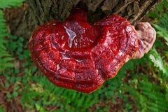 Vibrierender wilder Reishi-Pilz Ganoderma Tsugae, das auf einem Schierlings-Baum wächst stockfotos