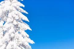Vibrierender Winterferienhintergrund mit der Kiefer bedeckt durch starke Schneefälle und blauen Himmel Lizenzfreies Stockfoto