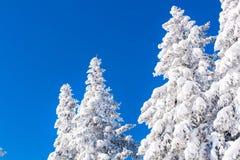 Vibrierender Winterferienhintergrund mit der Kiefer bedeckt durch starke Schneefälle und blauen Himmel Stockfotografie