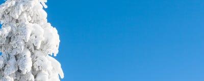 Vibrierender Winterferienhintergrund mit der Kiefer bedeckt durch starke Schneefälle und blauen Himmel Stockbilder