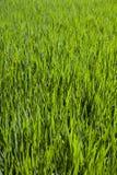 Vibrierendes Detail des grünen Grases Stockfotografie
