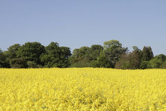Vibrierendes gelbes Rapssamenfeld umgeben durch Bäume Lizenzfreies Stockfoto