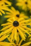 Vibrierendes Makrobild des Schwarzen musterte Susan-Blume im Sommer Stockfotografie