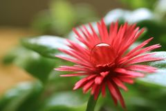 Vibrierendes rosa Baby Sun Rose Blooming Flower mit Crystal Clear Water Droplet auf seinem Blütenstaub lizenzfreies stockfoto