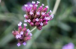 Viburmum kwiatu grono Obrazy Royalty Free