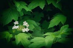 Viburno - genere di fioritura legnosa Fotografia Stock Libera da Diritti