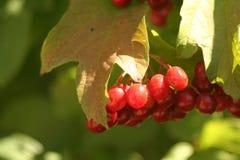 Viburno nel giardino della frutta fotografia stock libera da diritti