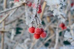 Viburno nell'inverno con gelo Immagine Stock