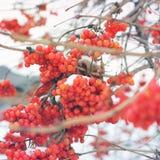 Viburno nella neve Prima neve Bello inverno immagine stock libera da diritti