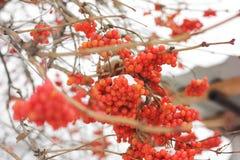 Viburno nella neve Prima neve Bello inverno fotografia stock