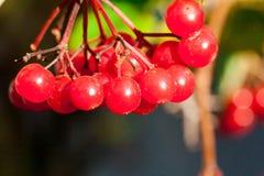 Viburno rosso di viburno Fotografie Stock Libere da Diritti