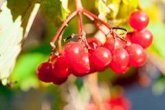 Viburno rosso di viburno Immagine Stock